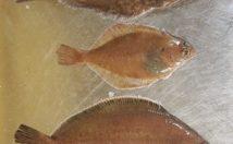 Flounder vs Halibut