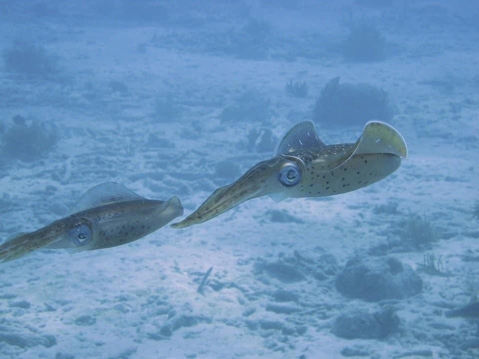 Squid vs Octopus